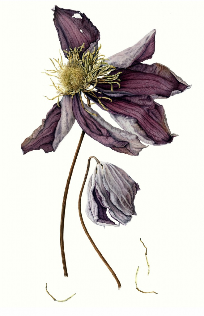 Dried clematis.jpg